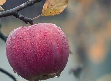 Спелое красное яблоко на дереве