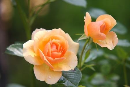 Две желтые розы
