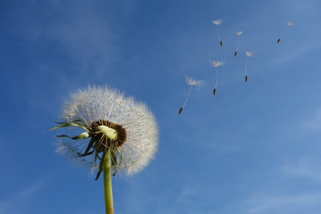 Одуванчик с улетающими семенами